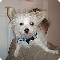 Adopt A Pet :: Gizmo - Encinitas, CA
