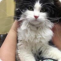 Adopt A Pet :: Netti - Merrifield, VA