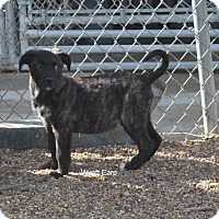 Adopt A Pet :: Wyatt Earp-in CT - East Hartford, CT