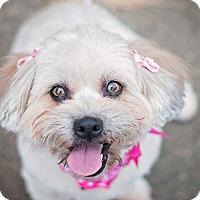 Adopt A Pet :: Buttercup - Adoption Pending - Kingwood, TX