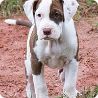 Adopt A Pet :: Harmony - $250 - Seneca, SC