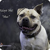 Staffordshire Bull Terrier/Pug Mix Dog for adoption in Acton, California - Mac