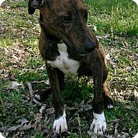 Adopt A Pet :: Bean - Waldorf, MD