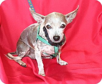 Mexican Hairless/Chihuahua Mix Dog for adoption in Umatilla, Florida - Abe