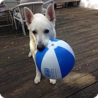 German Shepherd Dog Dog for adoption in Lithia, Florida - Nico-15