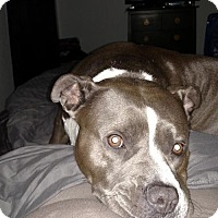American Pit Bull Terrier Dog for adoption in Fulton, Missouri - Lala - Arizona