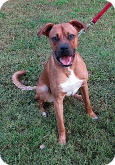 Boxer Mix Puppy for adoption in Georgetown, Texas - Apollo Magoo