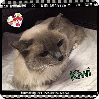 Ragdoll Cat for adoption in Harrisburg, North Carolina - Kiwi