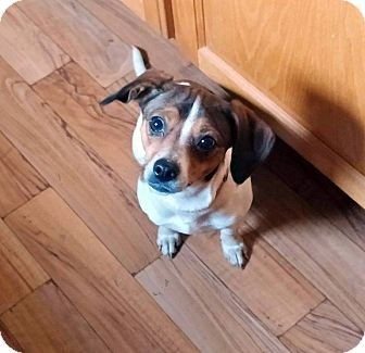 Chihuahua/Rat Terrier Mix Puppy for adoption in Hillsboro, Illinois - Mandy- adoption pending!