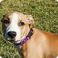 Adopt A Pet :: Hazelnut Fostered (Sharon) - Troy, IL