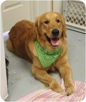 Golden Retriever Puppy for adoption in Ocean City, New Jersey - Bertram