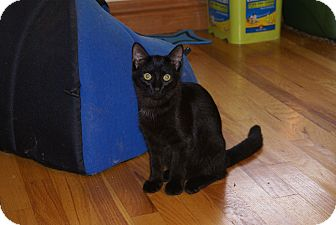 Domestic Shorthair Cat for adoption in Portland, Maine - Boston Blackie
