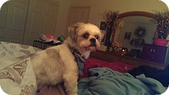 Lhasa Apso Dog for adoption in Sheridan, Oregon - Griffin