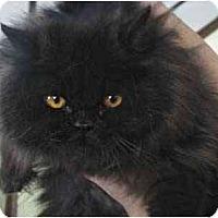 Adopt A Pet :: Nikodemus - Davis, CA