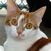 Domestic Shorthair Cat for adoption in Carmel, New York - Aaron
