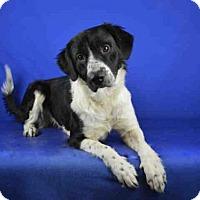 Adopt A Pet :: A022281 - Norman, OK