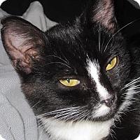 Domestic Shorthair Cat for adoption in Alamo, California - Sugar