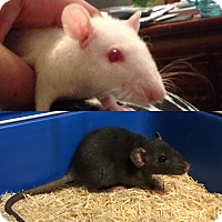 Adopt A Pet :: Marie / Cher - Rochester, NY