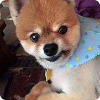 Adopt A Pet :: Muffin - Omaha, NE