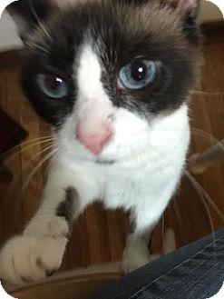 Persian Cat for adoption in Columbus, Ohio - Darling