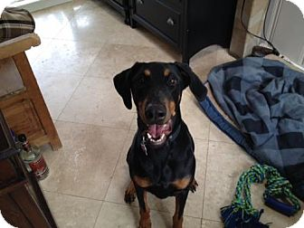 Doberman Pinscher Dog for adoption in Houston, Texas - Ariel