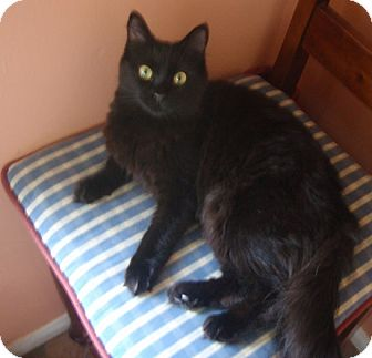 Domestic Mediumhair Cat for adoption in Sherman Oaks, California - Mia