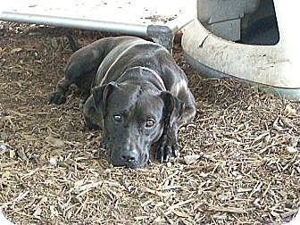American Staffordshire Terrier/Labrador Retriever Mix Dog for adoption in Fair Oaks Ranch, Texas - Cupcake