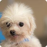 Adopt A Pet :: Gibson - Colorado Springs, CO