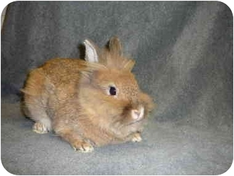 Lionhead Mix for adoption in Newport, Delaware - Brewster
