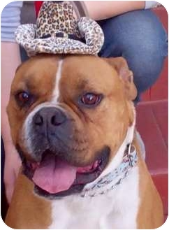 Boxer/English Bulldog Mix Dog for adoption in Santa Monica, California - Chuco