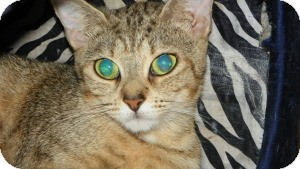 Bengal Cat for adoption in Fort Lauderdale, Florida - Zuli