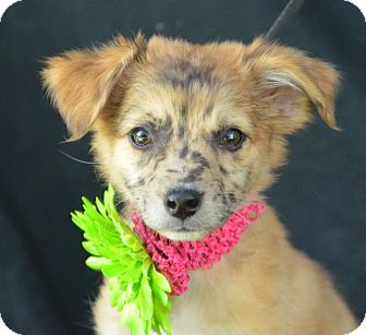 Sheltie, Shetland Sheepdog Mix Puppy for adoption in Plano, Texas - Chaney