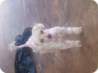 Maltese/Poodle (Miniature) Mix Dog for adoption in Indian Trail, North Carolina - Parker