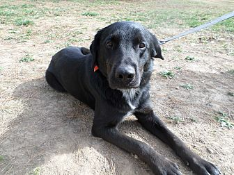 Catahoula Leopard Dog/Labrador Retriever Mix Dog for adoption in Oakland, Arkansas - Cezar