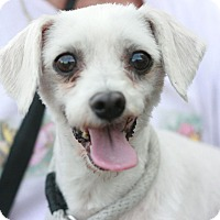 Adopt A Pet :: Sunshine-Maltipoo! - Canoga Park, CA