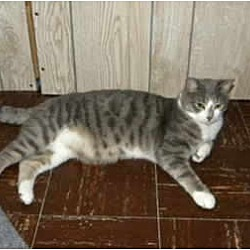 Photo 2 - Domestic Shorthair Cat for adoption in Bartlett, Illinois - Tommy