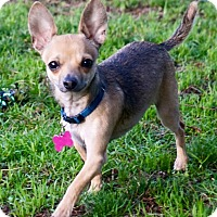 Adopt A Pet :: Gyro - Salem, OR