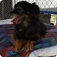 Chihuahua/Dachshund Mix Dog for adoption in Pearblossom, California - Oscar
