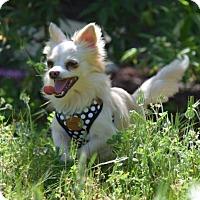 Adopt A Pet :: Violet - Penngrove, CA