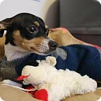 Adopt A Pet :: Peewee - San Antonio, TX