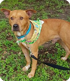 Cattle Dog/Labrador Retriever Mix Dog for adoption in Houston, Texas - Little Joe