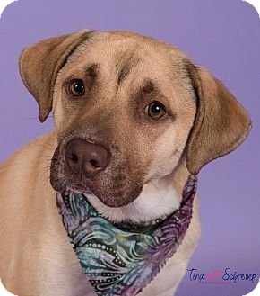 Black Mouth Cur/Labrador Retriever Mix Dog for adoption in Big Canoe, Georgia - Compass
