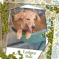 Adopt A Pet :: Ledger-pending adoption - Manchester, CT
