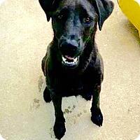 Adopt A Pet :: Diesel - Ronkonkoma, NY