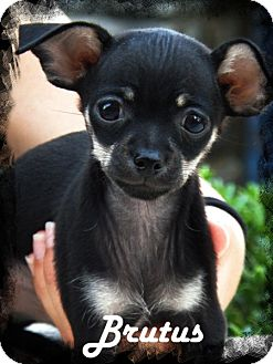 Chihuahua Puppy for adoption in Anaheim Hills, California - Brutus