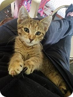 Domestic Shorthair Cat for adoption in Benson, Minnesota - Sunshine