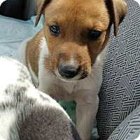 Labrador Retriever Mix Puppy for adoption in Patterson, New York - Butch