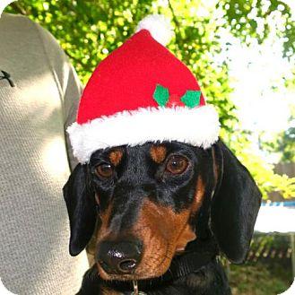 Dachshund Dog for adoption in Houston, Texas - Ava Crowder