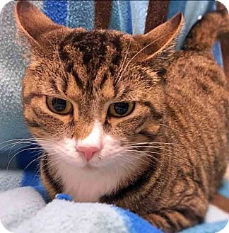 Domestic Shorthair Cat for adoption in Gahanna, Ohio - ADOPTED!!!   Pancake