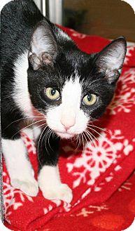 Domestic Shorthair Kitten for adoption in Irving, Texas - Syrbol